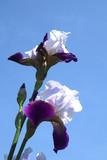 iris in a blue sky