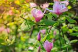 Spring awakening. Beautiful  violet magnolia`s blossom.  Nature background.
