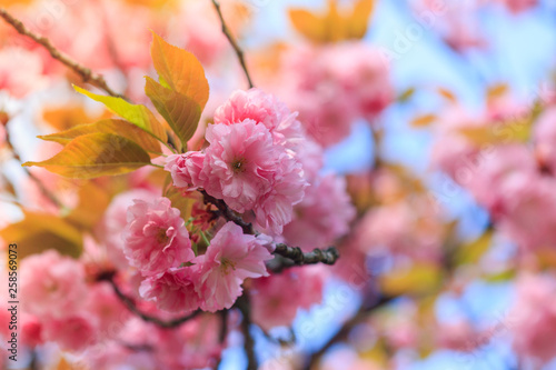 Leinwandbild Motiv Spring awakening. Beautiful cherry blossom of sakura tree.  Nature background.