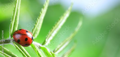 Leinwandbild Motiv red ladybug on green leaf, ladybird creeps on stem of plant in spring in garden summer