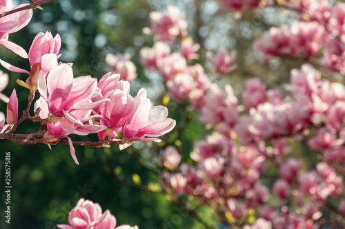 Leinwandbild Motiv pink magnolia blossom