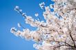 canvas print picture - Japanische Kirschblüte im Frühling vor blauem Himmel