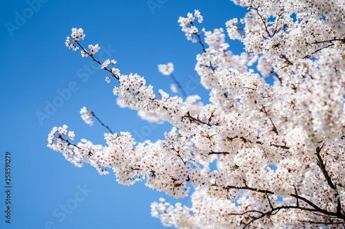 canvas print picture Japanische Kirschblüte im Frühling vor blauem Himmel