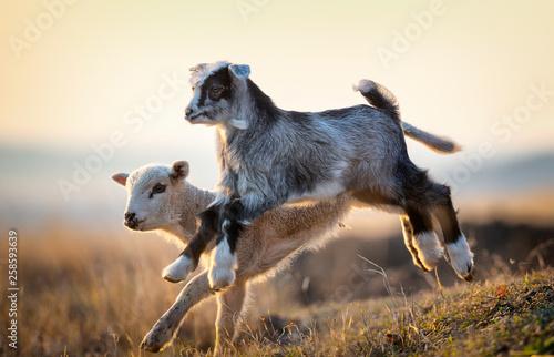 fototapeta na ścianę cute kid and lamb running at farm in spring