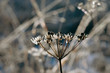 Winter golden alexander with frost, seeds and sunlight