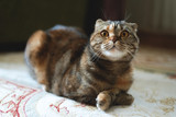 Brown scottish fold cat is lying on a carpet.