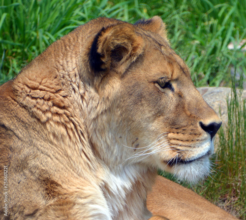 Lion is one of the four big cats in the genus Panthera, and a member of the family Felidae. With some males exceeding 250 kg (550 lb) in weight, it is the second-largest living cat after the tiger - 258601221
