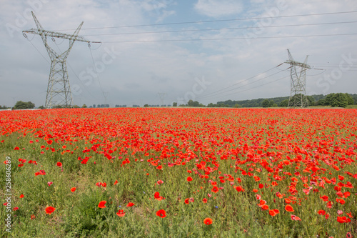 field of poppies in the broad perspective © bzyxx