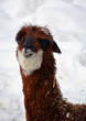 Leinwandbild Motiv Alpaca is a domesticated species of South American camelid. It resembles a small llama in appearance.Alpacas are kept in herds that graze on the level heights of the Andes of southern Peru