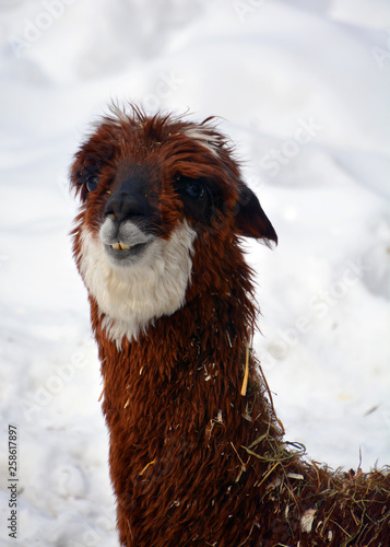 Alpaca is a domesticated species of South American camelid. It resembles a small llama in appearance.Alpacas are kept in herds that graze on the level heights of the Andes of southern Peru © Daniel Meunier