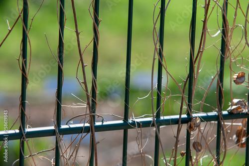canvas print picture Pflanzen Schlingen Gitter Zaun Focus 1