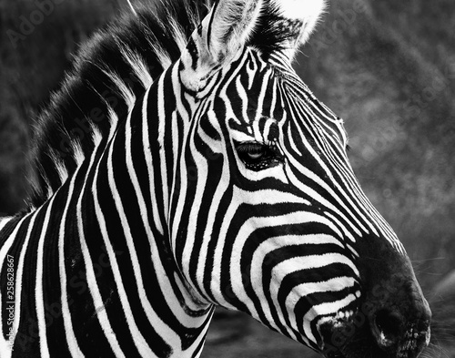 Closeup of a Zebra at the zoo in black and white