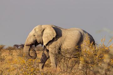Elefanten gehen durch Savanne