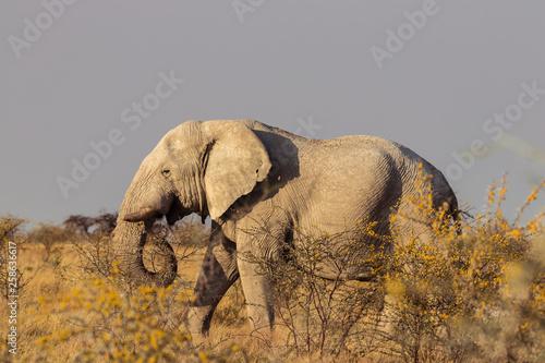 Elefanten gehen durch Savanne © Raphael