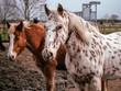 canvas print picture - Pferde