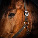 Fototapeta Fototapety z końmi - Porträt Kopf Pferd © dietwalther