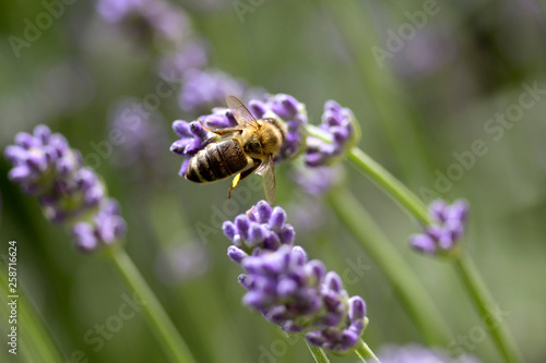 Bee on lavender flower - 258716624