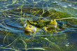 Edible frog (Pelophylax kl. esculentus). Frog in the water during spring mating