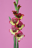 Inflorescence of gladiolus with colorful flowers isolated on pink background.