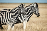 Fototapeta Sawanna - Two beautiful zebras in the African savannah. © lucaar
