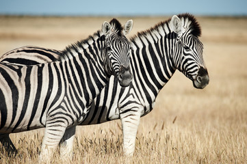 Two beautiful zebras in the African savannah. © lucaar