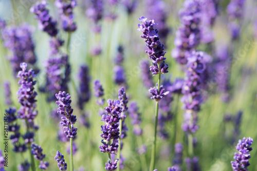 Lavender Plant Flowering - 258781436