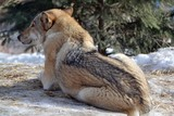 The wolf lies in the snow