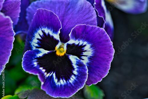 Frühlingsblume - 258795620