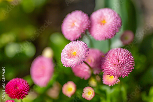Pretty pink bellis flowers, with a shallow depth of field