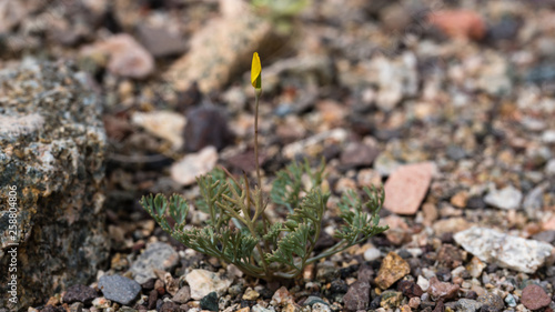 a single pygmy poppy in the Mojave desert starting to bloom - 258804806