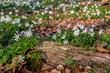 Leinwanddruck Bild - Waldboden mit Buschwindroeschen