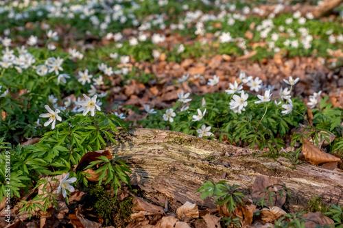 Leinwanddruck Bild Waldboden mit Buschwindroeschen