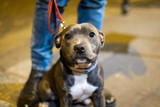Blue staffy in the street