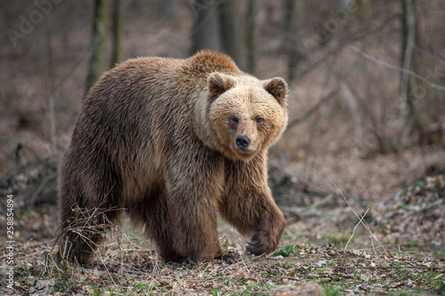 Leinwanddruck Bild Big brown bear in forest