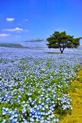 満開のネモフィラが咲く丘 © 7maru