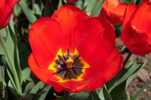 fototapeta na ścianę Tulipano rosso in fioritura. Fiore rosso sbocciato. Primo piano, macro.