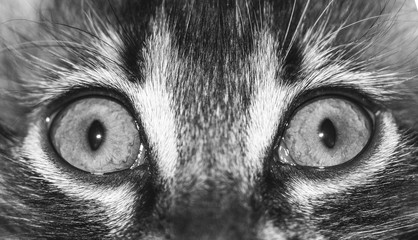 cat eyes close up, macro photo black and white