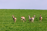 A Flock of deer with summer grazing on green grass field
