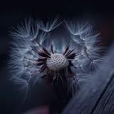 Fototapeta Fototapeta z dmuchawcami - dandelion flower plant in springtime © Ismael