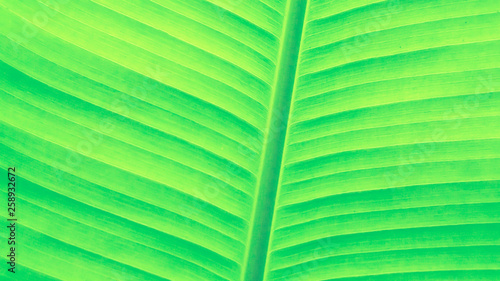green banana leaf  abstract  fresh nature  background  for design - 258932672
