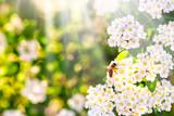 Fototapeta Fototapeta z dmuchawcami - Dandelion seeds in the sunlight blowing away across a fresh green morning background © Shcherbyna
