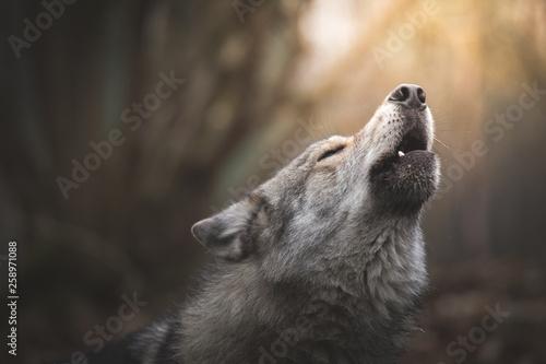 fototapeta na ścianę Wolf howling