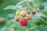 Raspberry berries close-up.