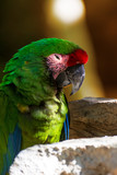 The Green-winged Macaw (Ara chloropterus) is a large, colorfully colored parrot, one of the largest and most widespread ares.