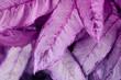 Violet leaf. Tropical plants. Nature background.