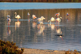 group of flamingos in the wild on the lake