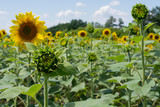 Blooming sunflowers against the backdrop of a cloudy summer sky. Agricultura Ukraine. Space for text. Copy space.