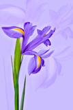 Purple iris flower on a light purple background. Can be used as a flower background for greeting cards.