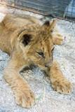 Beautiful young lion