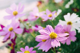 Fototapeta Fototapety kosmos - Pink Cosmos flowers in the garden with blur background © natchas